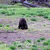 696  G Black Bear