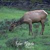 666  G Elk Eating