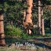 1221  G Deer in RMNP