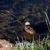 1803  G Duck in Pond