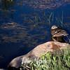 1801  G Duck in Pond