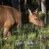 2084  G Elk in Horseshoe Park