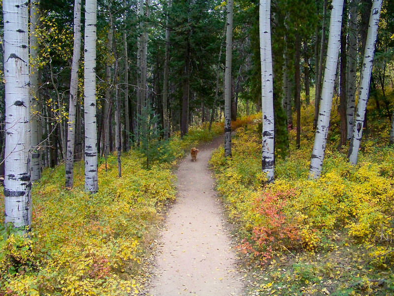 Golden Retriever in the golden foliage, Myers Ranch trail, Conifer, Colorado.