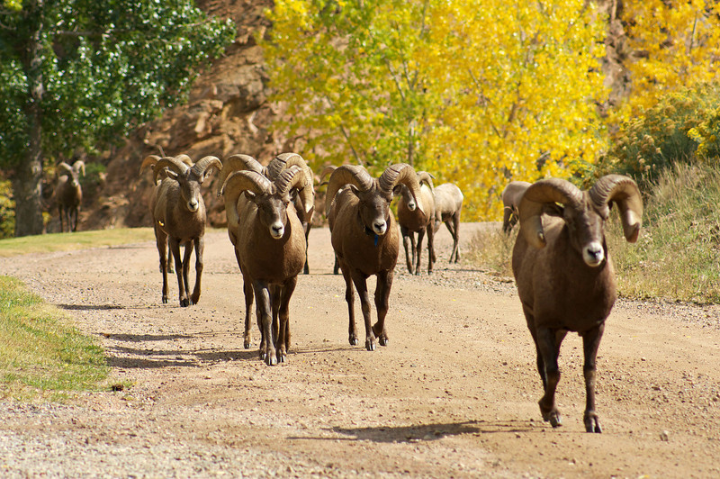 Running Rams along the Colorado Trail, just above Waterton Canyon.