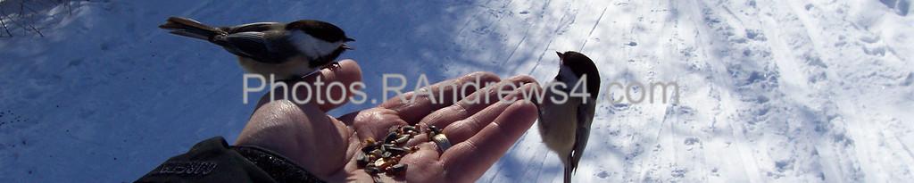 Chickadees at Mendon Ponds