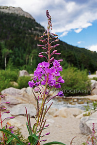 Purple Flower at Alluvial Fan