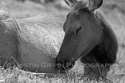 Elk 5