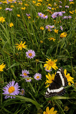 Admiral butterfly on Bush Sunflowers.