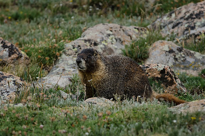 Marmot at Forest Canyon, RMNP.