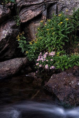 Fleabane, along the outlet stream from Emerald Lake to Dream Lake.