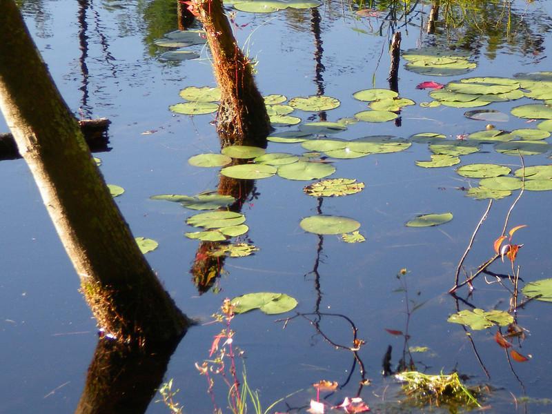 Lily Pads, Assabet River Nat'l Wildlife Refuge, Maynard, MA