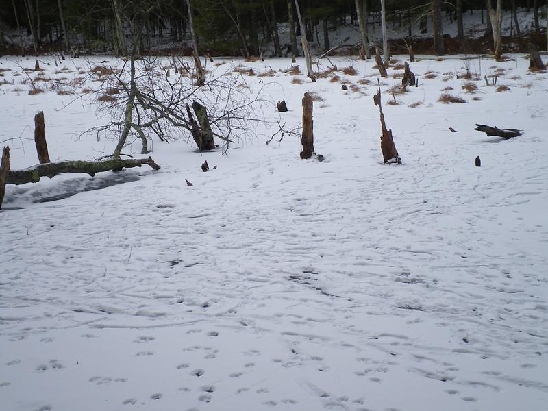 'Grand Central Station':  animal tracks at arnwr swamp near Puffer Pond, Jan '15