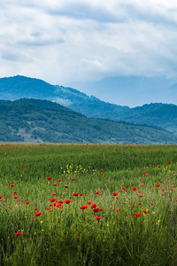 Rasnov Poppies