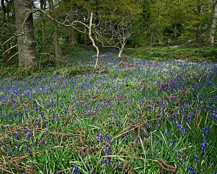 Bluebells near Roseberry Topping