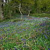 Bluebells near Roseberry Topping