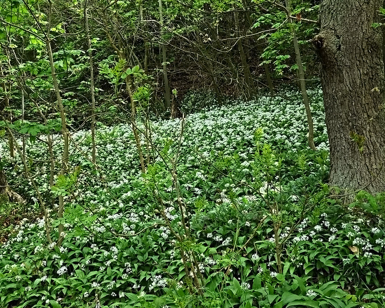 Wild Garlic beneath Roseberry Topping