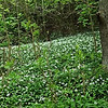 Wild Garlic beneath Roseberry Topping