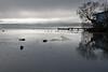 Swans on Lake Rotorua