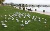 Seagulls - Lake Rotorua