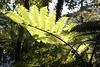 Tree fern - Rotorua