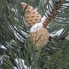 :Pine cones