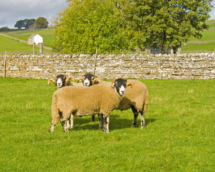 Sheep at High Force
