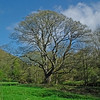 A tree in Weardale