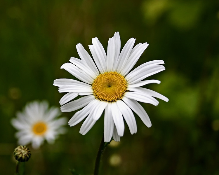 Birdseye daisy