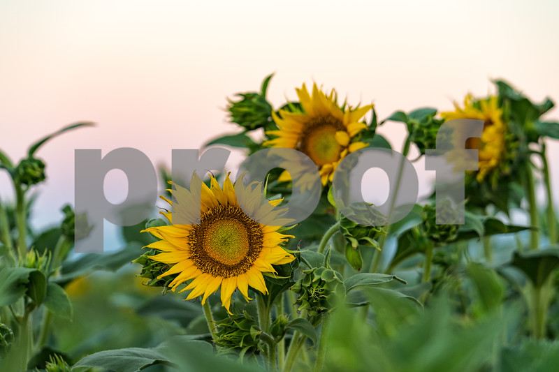 Fields of Sunflowers, Northern California