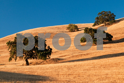Oak Trees, California Landscape