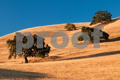 Oak Trees, California Landscape