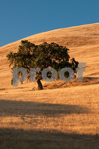 Lone Oak Tree, California Landscape