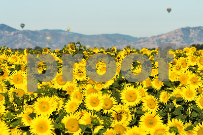 Sunflowers and Hot Air Balloons, Northern California