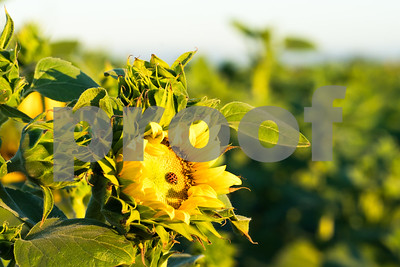 Fields of Sunflowers and Ladybug, Northern California