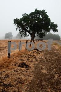 Foggy Oak Morning, California Landscape