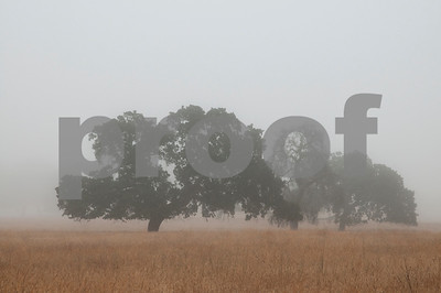 Foggy Oak Trees, California Landscape