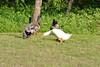 Duck, Duck , Goose?