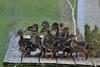 Happy Little Ducklings