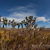 Grass and Joshua Trees