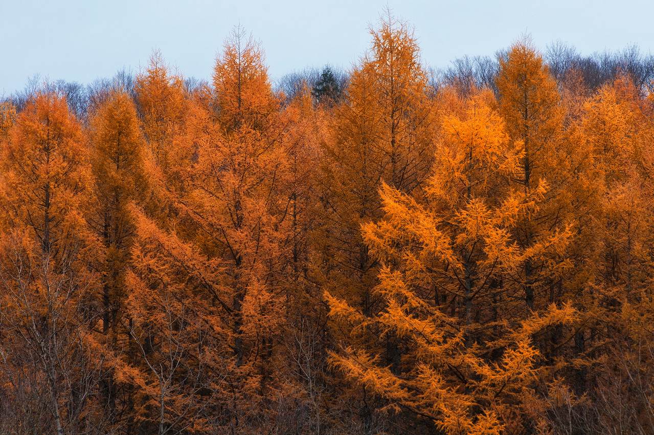 North of Brookfield along the Beaver Creek it's time for the larches to show off their color.