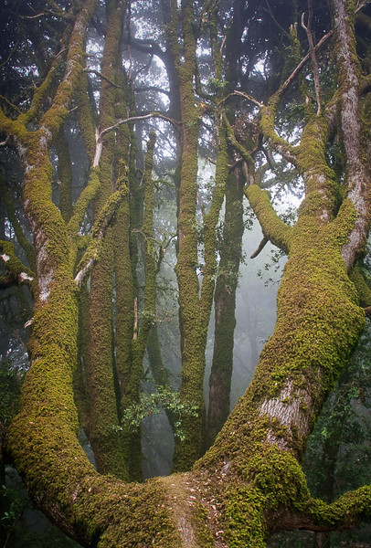 """A """"slingshot"""" tree covered with moss along the Ancient Oaks Trail. The fog made for an effective light box for this photo."""