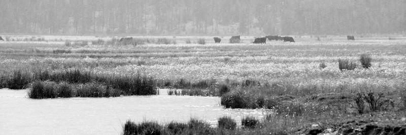 Lavington Cows
