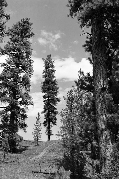 Findlay Pine