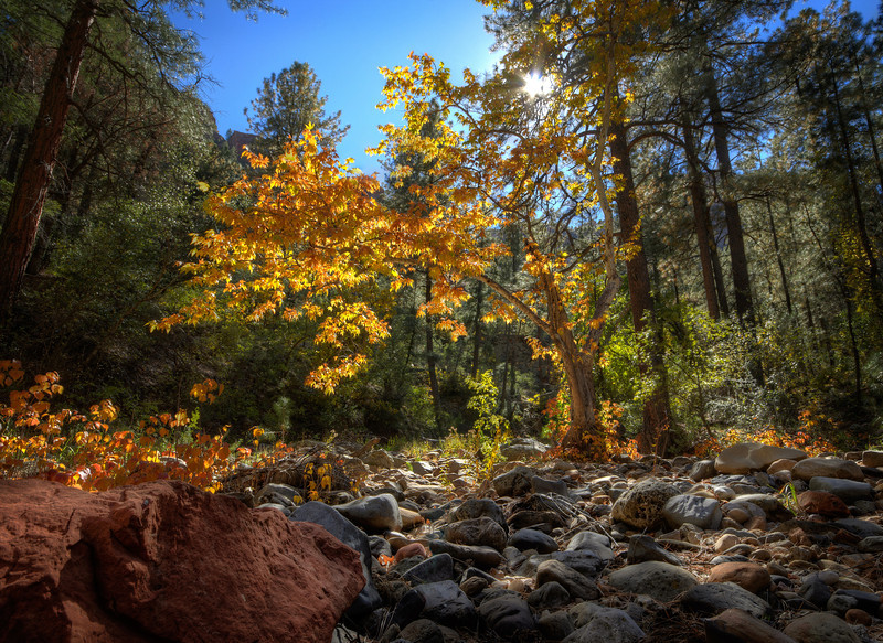 Fall Aspen in Sedona at Secret Canyon