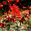 RED LEAVES - <br /> LSNG