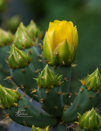 Cactus: The Alamo grounds have been turned into gardens of serenity. There are Giant Oaks, hundreds of years old, flowers, old wells, ponds, flowers, and large Cactus Plants. This is a picture of one such Cactus preparing to bloom. Nikon D600, 28-300mm lens @300mm, f/5.6, 1/160sec, ISO 200, and -0.67EV