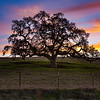Oak tree with sunset.