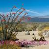 Borrego Springs Cactus Bloom.