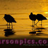 Sandpipers Feeding at Sunset