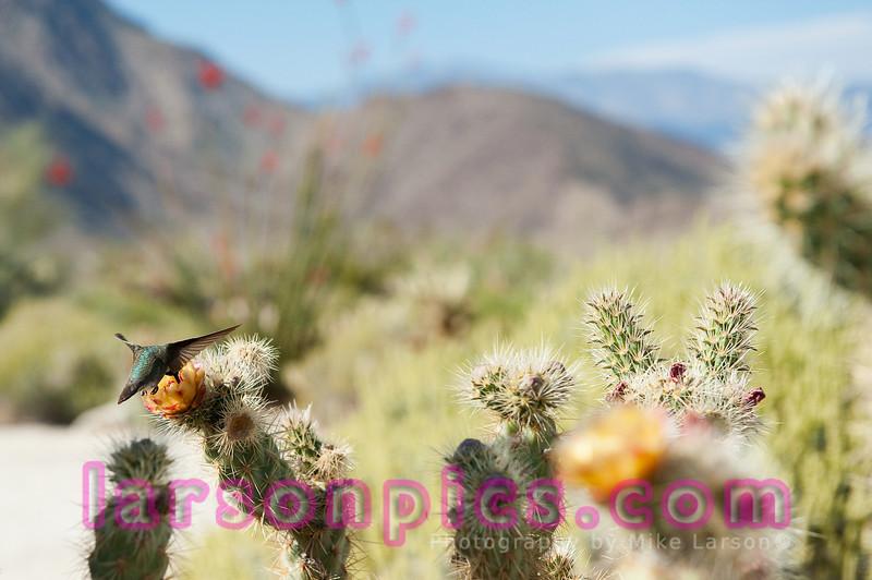 Borrego Springs Cactus Bloom and feeding Hummingbird